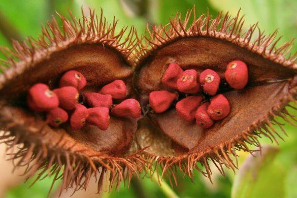 arbusto de achiote con espinas y frutos de color rojo este alimento puede prevenir el cancer