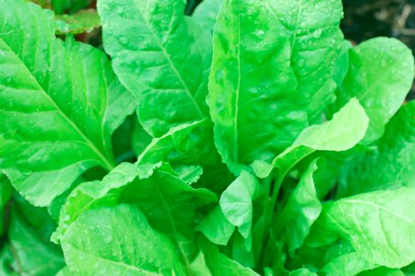 imagen de las hojas de una espinaca conoce como obtener lo mejor de la espinaca