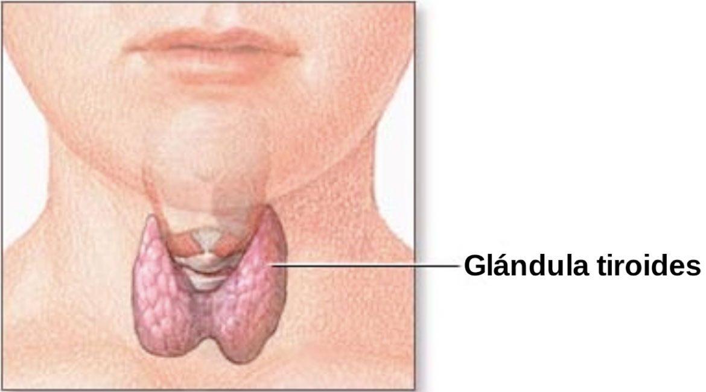 imagen de la glandula tiroides conoce los remedios naturales para aliviar la tiroides