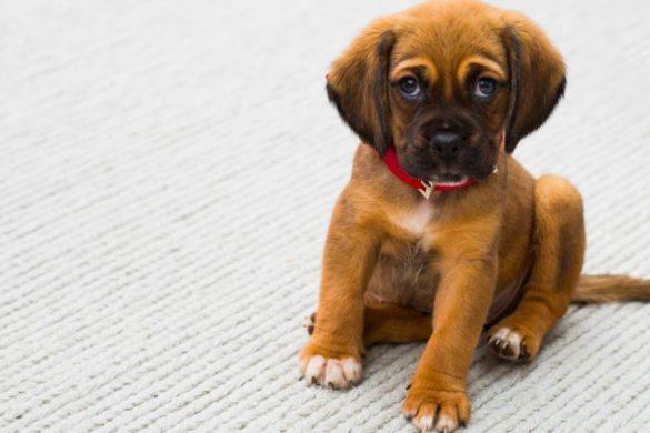 perro cachorro color miel y collar rojo sentado sobre superficie blanca