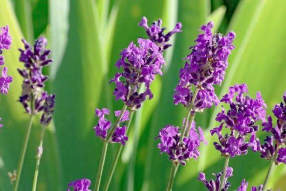varias flores de lavanda parte de aceites para mantener la piel joven