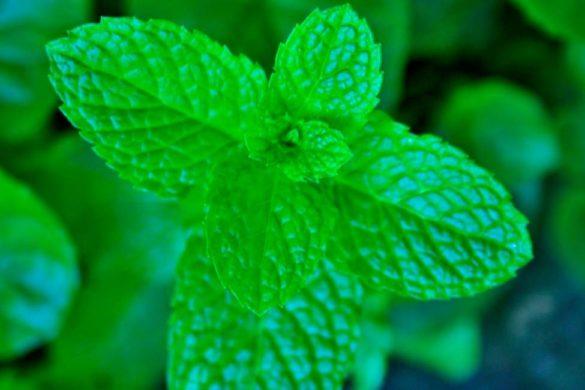 fotografia de planta de menta color verde conoce las razones para comer menta