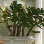 maceta color blanca con planta de hojas verdes llamada crassula ovata iman para el dinero