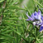 hierba de romero color verde con una flor morada de las plantas que combaten la demencia