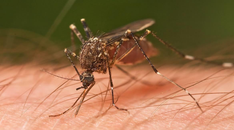 fotografia de un mosco sobre piel humana como eliminar mosquitos de forma casera