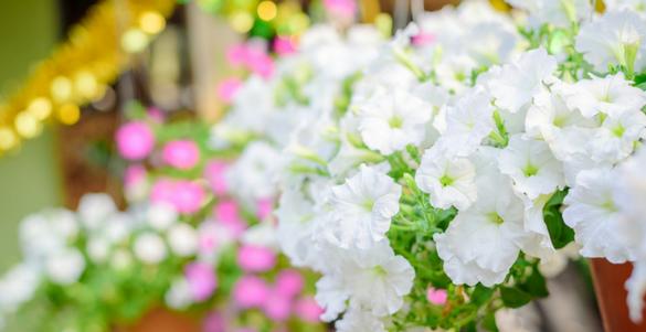 flores blancas con tallos verdes al fondo fuera de foco mas flores en color rosa y blanco
