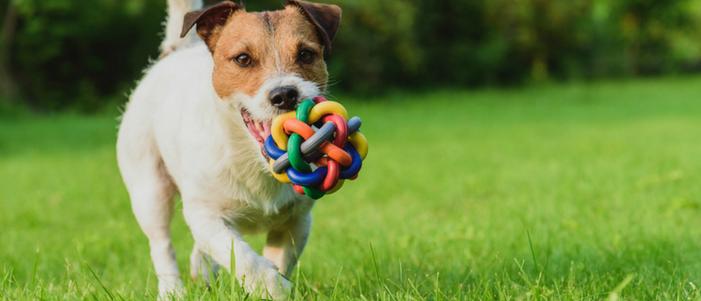 perro de raza pequena jugando con juguete de colores los beneficios de tener una mascota
