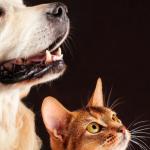 fondo negro con un perro y un gato observando a un lado ventajas de tener una mascota en casa